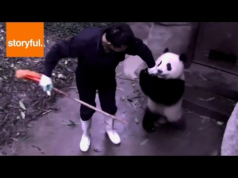 Amazing Baby Panda Steals Broom from Keeper