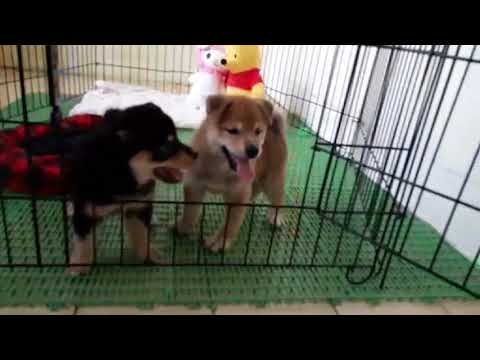 PuppyFinder.com : Andrew the Shiba Inu puppy for sale