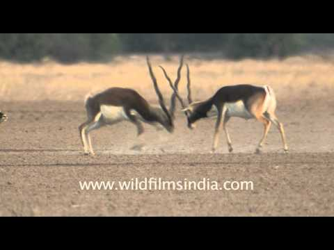 Wildlife of Tal Chappar Sanctuary, Rajasthan