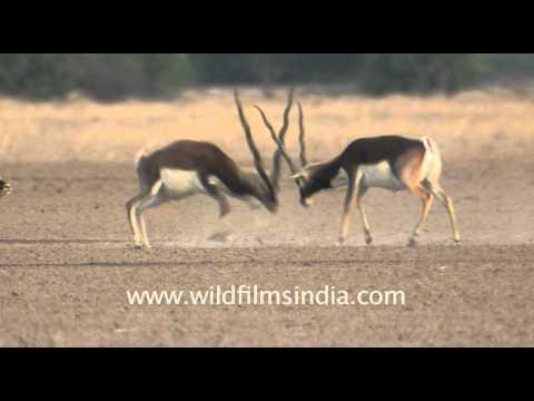 Wildlife of Tal Chappar Sanctuary, Rajasthan