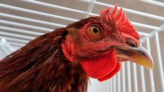 Cock Prank