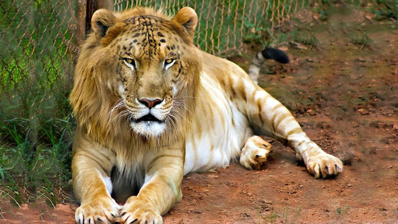 male lion weight - 900×666