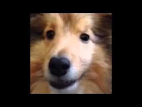Sheltie dog lip syncs