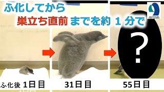 名古屋港水族館で生まれたアデリーペンギンのふ化後から巣立ち直前まで...
