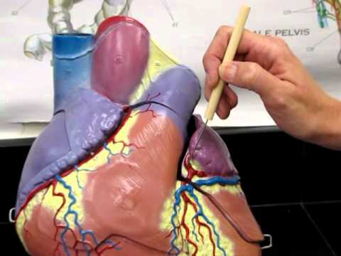 Large Heart Model-Coronary Arteries AP2