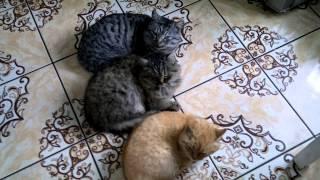 коты спят как в кино джентельмены удачи