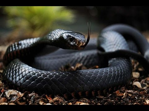 Image result for images of poisonous snake