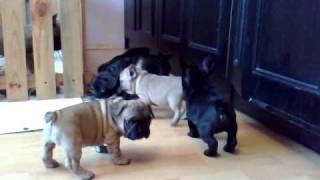 French bulldog // Buldog Francuski hodowla Corine Bene Te szczenięta miot D