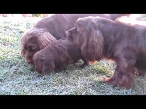"""Shelly"" Sussex Spaniel Puppy ""Into the unknown"""