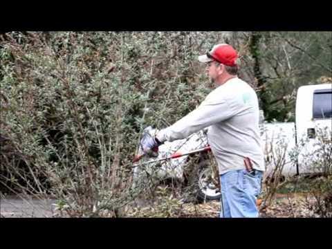How To Prune A Buddleja Butterfly Bush - Youtube