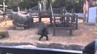 のんほいパークのチンパンジーは、ホッホッホッホッホッホッっと威嚇す...