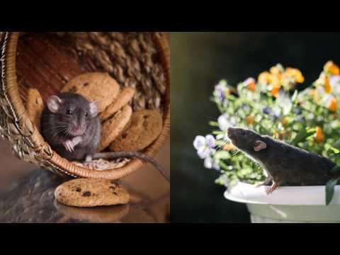Ameri-Tech Pest Control Heath TX 75032 Rodent Control