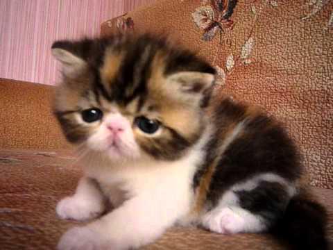 Объявления. Кошки, котята экзотическая короткошерстная, цены, торговля, фото, kартинки, продажа.