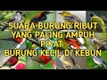 Suara Kutilang Ribut Sama Burung Kecil Ribut Yang Paling Ampuh Pikat Burung  Mp3 - Mp4 Download