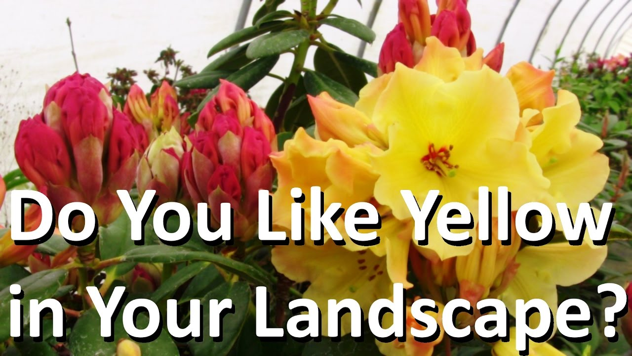 The Best Yellow And Orange Landscape Plant Is Rhododendron Nancy