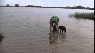 Prairie Wind GSPs, Enzie first duck and first swim