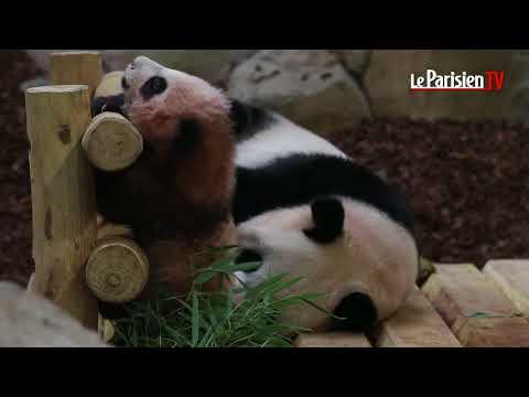 Bébé Panda : première sortie publique pour Yuan Meng le 13 janvier 2018