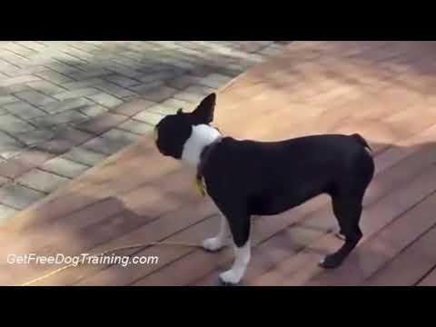 doggy-dan's-online-dog-trainer---how-to-get-your-dog-to-stop-barking