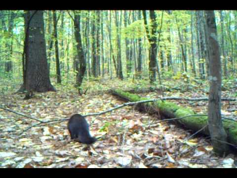 Fisher Cat day time camera trap
