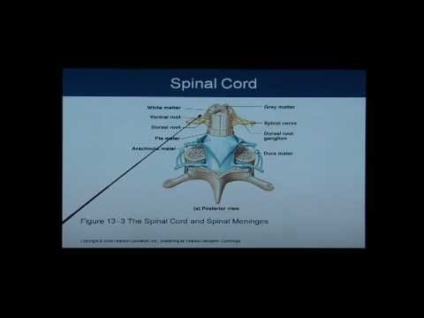 Anatomy and Physiology Chapter 13 Spinal Cord: Anatomy and ...