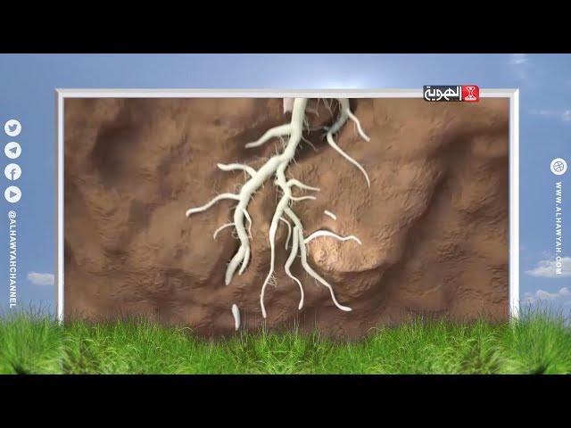 من زرع حصد | أمراض الجذور ..النقاز | قناة الهوية