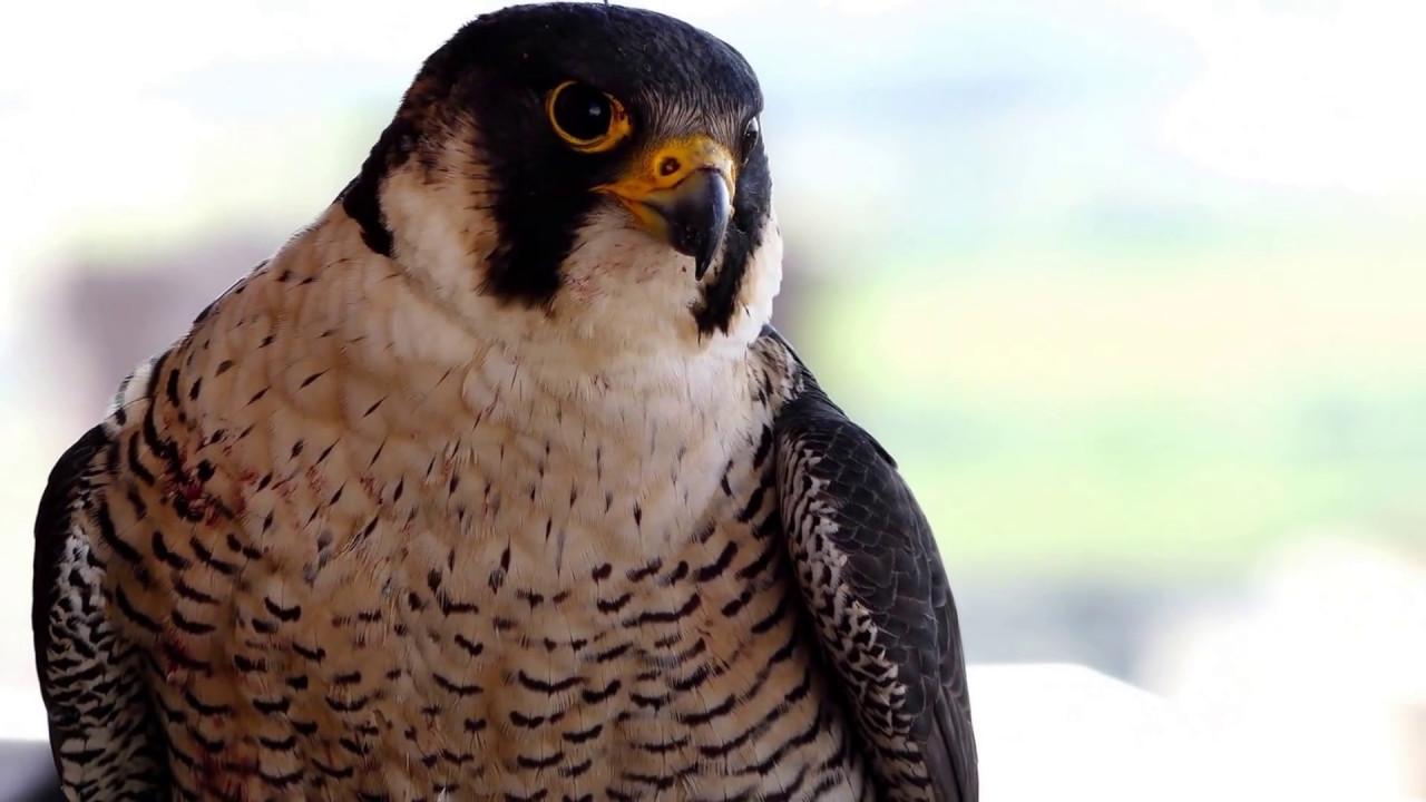 Resultado de imagen para migración halcón