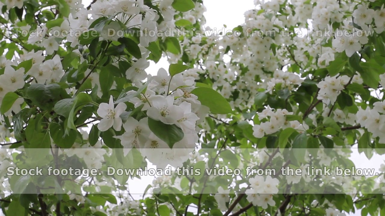 The Wind Moves The Branches Of The Tree With White Flowers Youtube