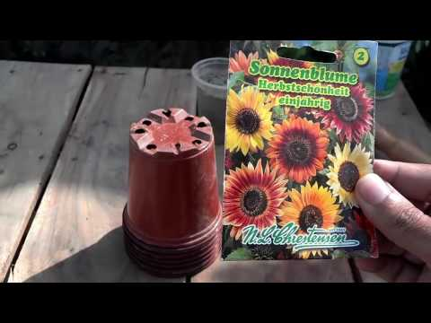 How to Grow Sunflower From Seeds | Different Kinds of Sunflower Seeds(Urdu/hindi)
