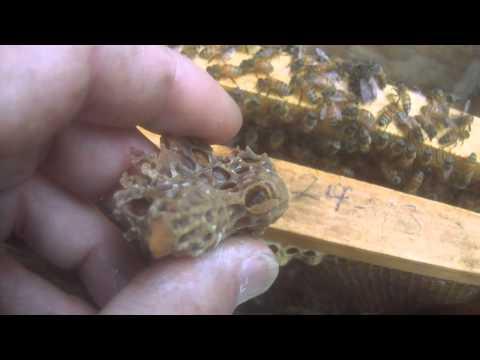 Queen Honey Bee Hatching In My Hand!