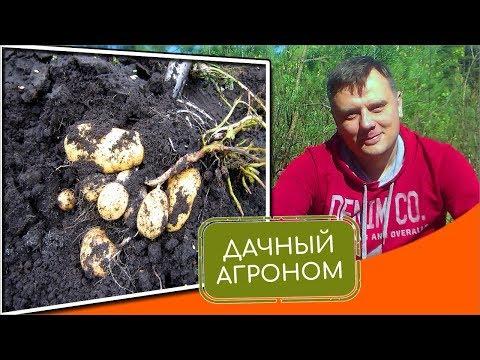 Посадка картофеля летом: как получить 2 урожая
