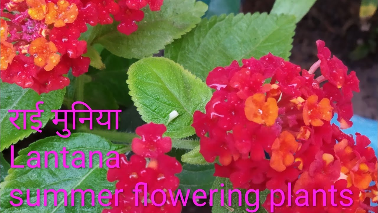 Lantana Plant Growing And Caring Method Best Summer