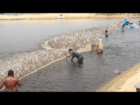 Shrimp Fishing | Shrimp Catching with Cast Net
