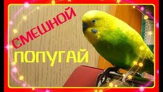 СМЕШНОЙ ПОПУГАЙ ТОША//САМЫЙ ВЕСЕЛЫЙ РУЧНОЙ ВОЛНИСТЫЙ ПОПУГАЙ//зеленый попугайчик TV