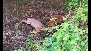 Baixar Fox kills roedeer!!! Fuchs tötet Reh!!!