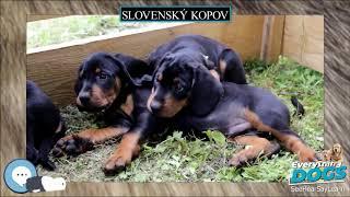 Slovenský kopov  Everything Dog Breeds