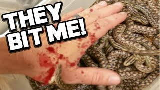 29 BABY SNAKES BITE ME!! LIVE BIRTH!! | BRIAN BARCZYK
