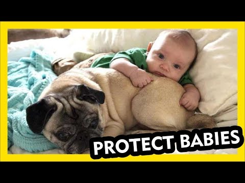 When Dogs Protect BABIES - Cutest Video Ever