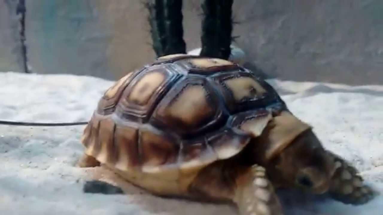 Tortuga acuario inbursa youtube for Acuario tortugas