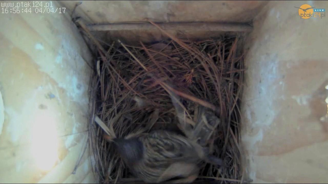 Szpak mości sobie gniazdo w budce lęgowej #01 w ogrodzie