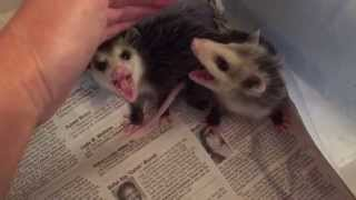 Growly baby opossums