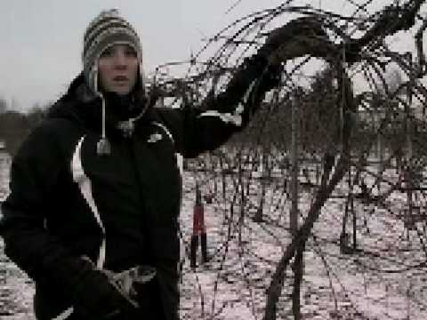 Pruning Of Concord Grape Vines Youtube