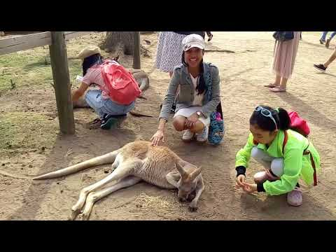 Meet the Kangaroos in Lone Pine Koala Sanctuary Brisbane: Scary but Irresistible
