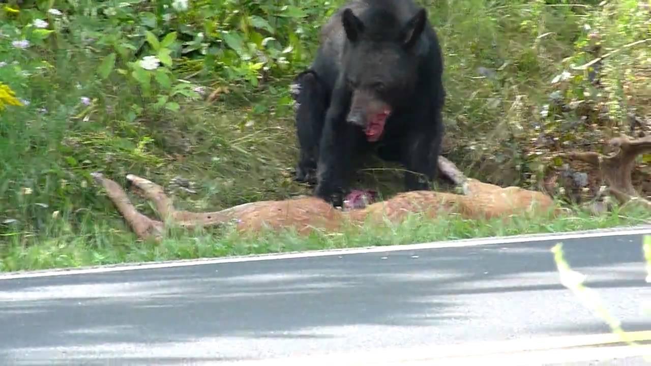 Bear Eating Deer At Shenandoah National Park 7 29 10 Youtube