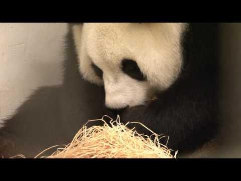 Pairi Daiza (Belgium) - Giant Panda cub's birth on June 2nd 2016