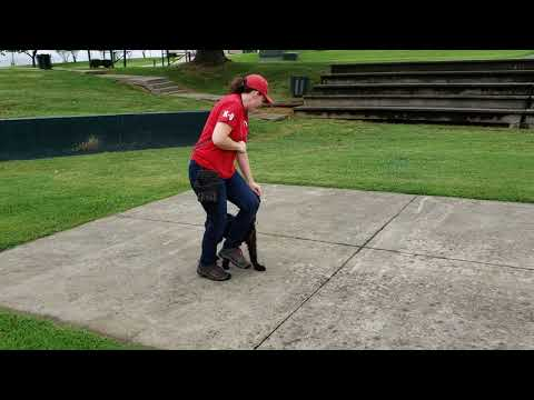 "Giant Schnauzer Female Puppy ""Tawny"" 15 Wks Early Development & Training Dog For Sale"