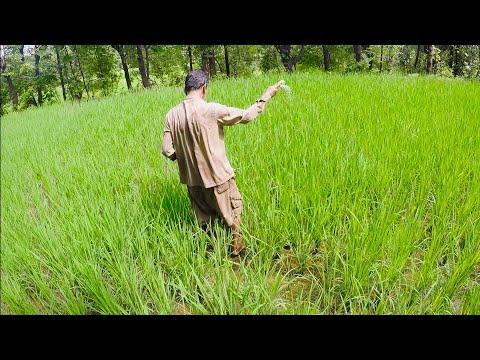 कोकणातील भात शेती | Konkan Rice Farming
