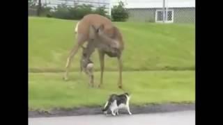 Прикол! Домашние животные! Олень мочит собаку и кота, защищая олененка