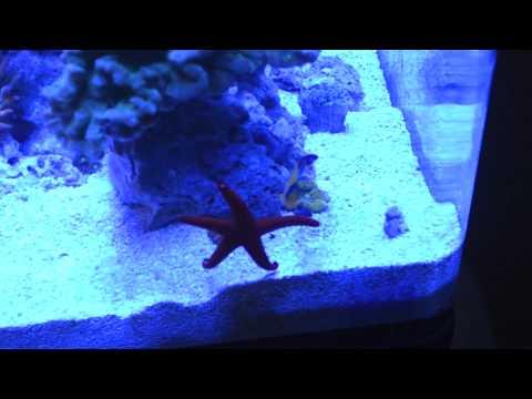 Feeding Dwarf Angelfish