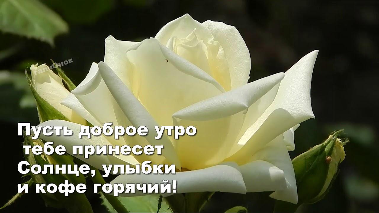 Открытка доброе утро белые розы
