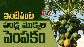 Terrace Gardening | Best Tips to Grow Fruit Plants | RaghothamaReddy-10